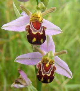Orchidée bourdon rieur (Ophrys bomybliflora)