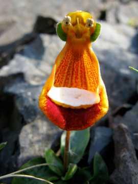Fleur extraterrestre (Calceolaria Uniflora)