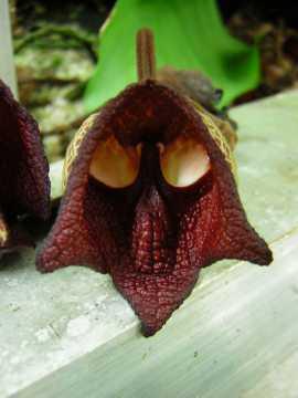 Plante Dark Vador (Aristolochia Salvadorensis)