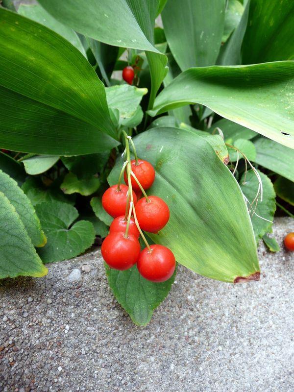 Les fruits rouges sauvages comestibles