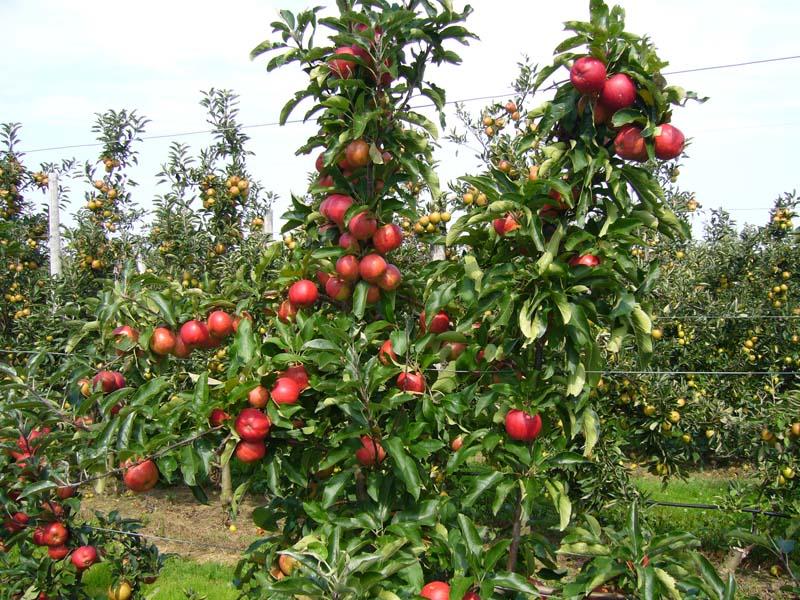 Les arbres fruitiers des zones tempérées