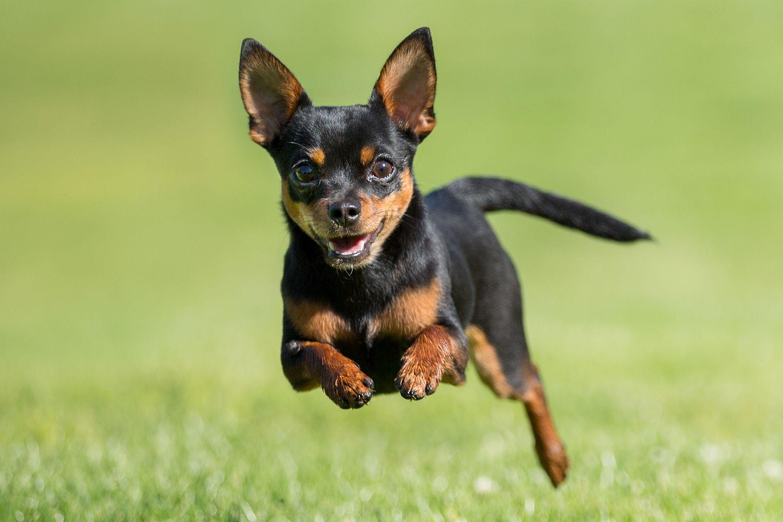 Les races de chiens de petite taille